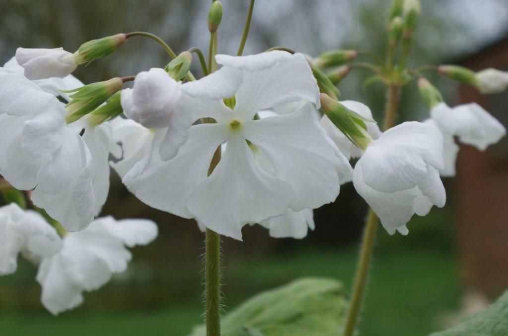 "Primula sieboldii ""Snowdrop"""