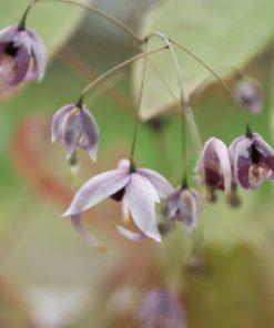 Epimedium acuminatum (L575)