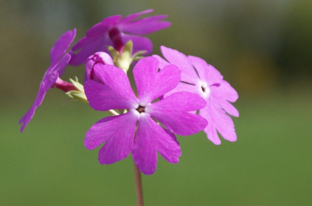 "Primula sieboldii ""Vivid Pink"""