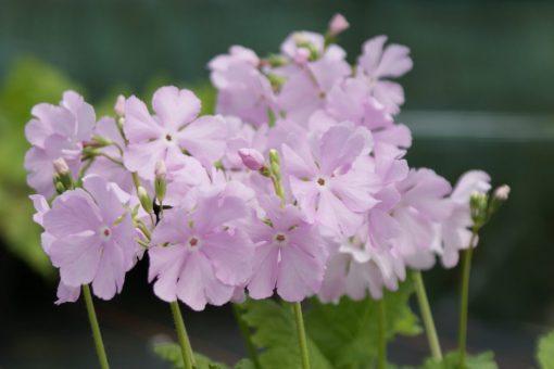 "Primula sieboldii ""Sorcha's Pink"""