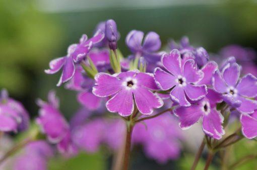 "Primula sieboldii ""Sumizome-genji"""