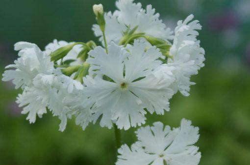 "Primula sieboldii ""Snowflake"""