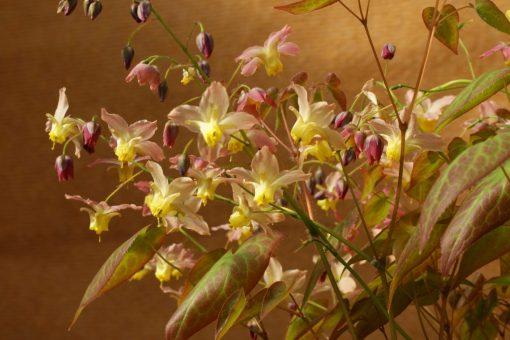 "Epimedium x versicolor ""Versicolor"""