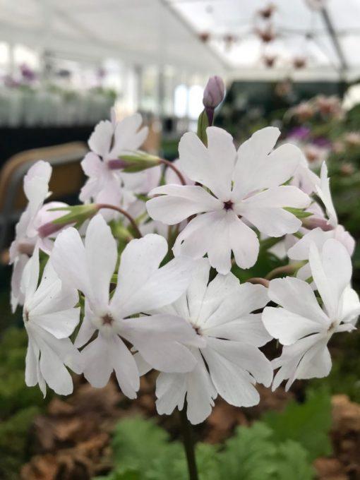 "Primula sieboldii ""Syutyuka"""