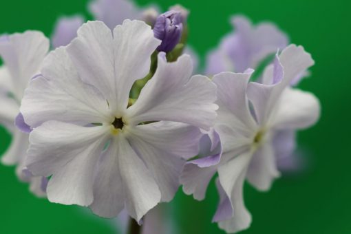 "Primula sieboldii ""Spring Song"""
