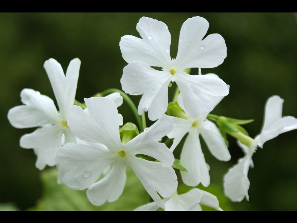 "Primula sieboldii ""Snow Flakes"""