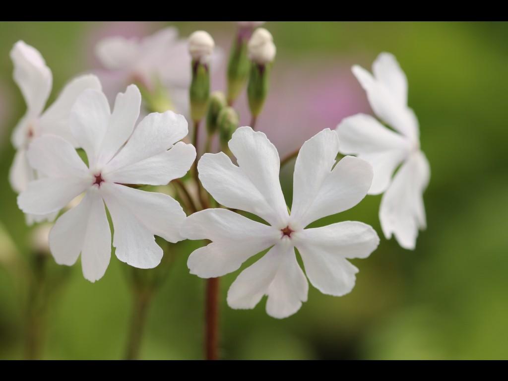 """Primula sieboldii """"Usujanome"""""""