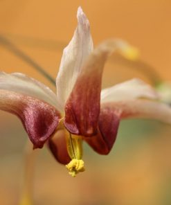 "Epimedium ""Knight Star"""