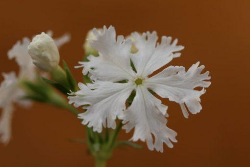 "Primula sieboldii ""Turu-no-kegoromo"""