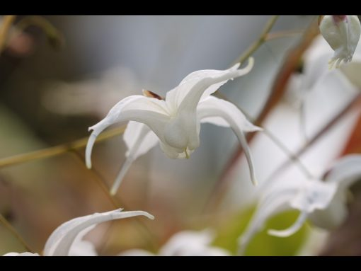 """Epimedium latisepalum """"Egret"""""""