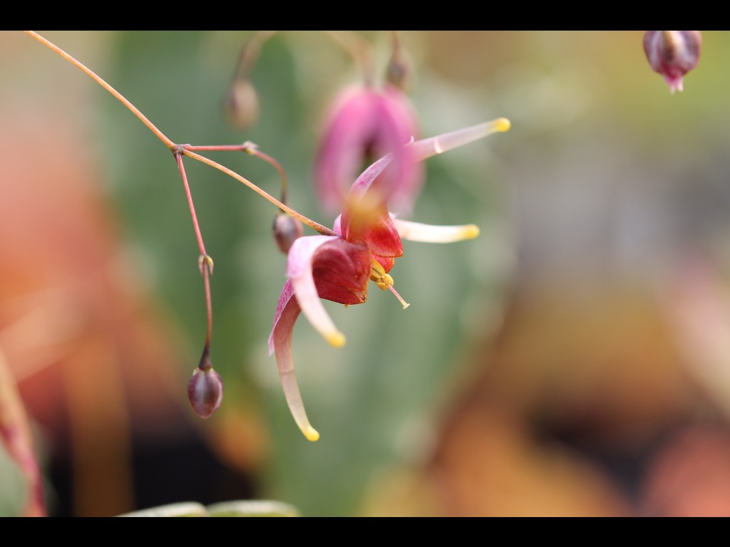 "Epimedium ""William Stearn"""