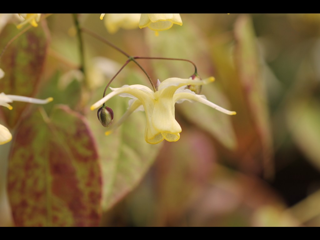 "Epimedium ""Flowers of Sulphur"""