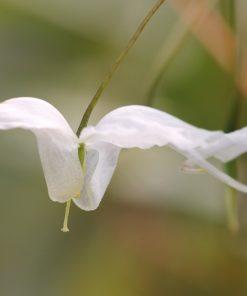 Epimedium latisepalum x ogisui