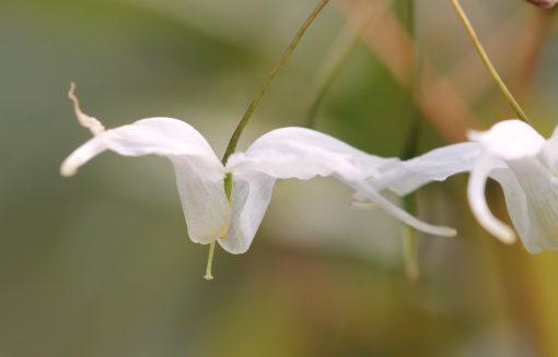 """Epimedium latisepalum x ogisui """"Arctic Wings"""""""