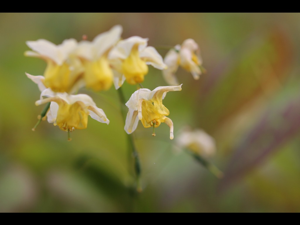 """Epimedium x versicolor """"Sulphureum"""""""