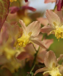 Epimedium x versicolor