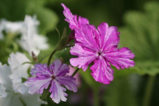 "Primula sieboldii ""Tatuta-no-yûbe"""