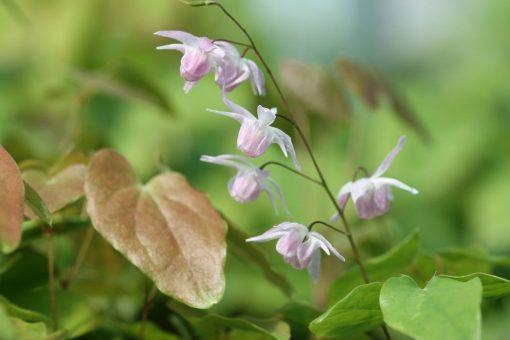 """Epimedium x youngianum """"Roseum"""""""