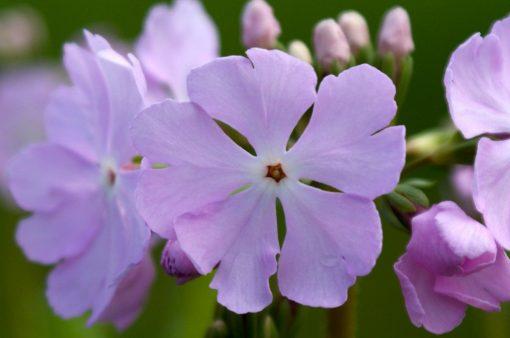 "Primula sieboldii ""Spring Blush"""