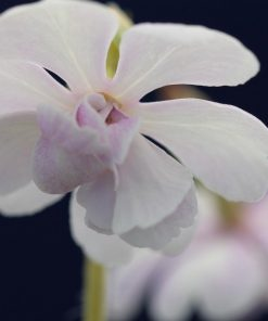 "Primula sieboldii ""Aiagasa"""