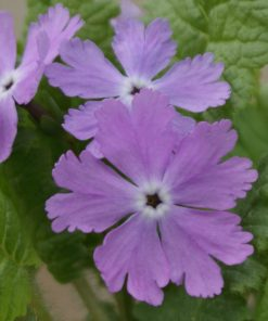 "Primula sieboldii ""Molly"""