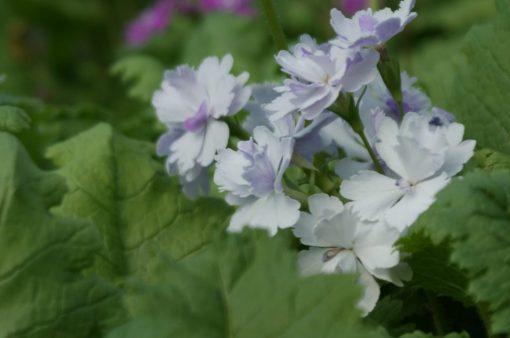 "Primula sieboldii ""Fukuju"""