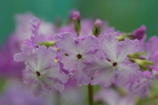 "Primula sieboldii ""Lacewing"""