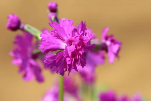"""Primula sieboldii """"Onigokko"""""""