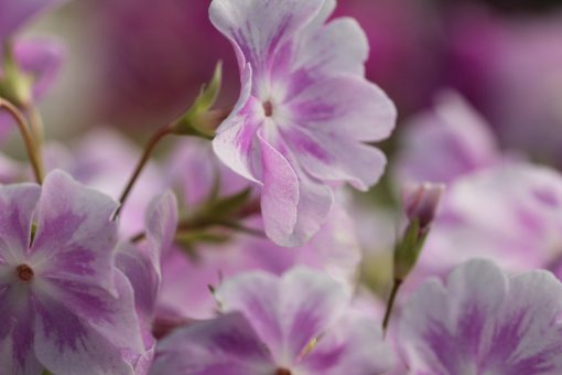 "Primula sieboldii ""Hana-monyo"""