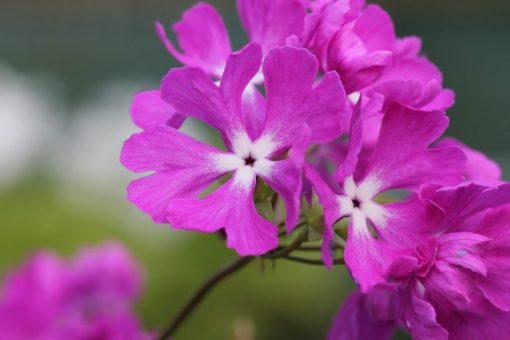 "Primula sieboldii ""Sinpukurin"""