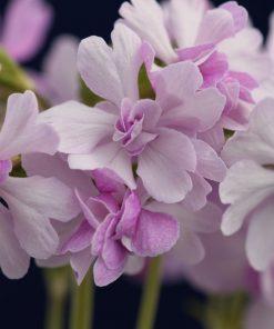 """Primula sieboldii """"Koharu biyori"""""""