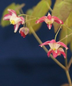 "Epimedium grandiflorum ""Red Beauty"""