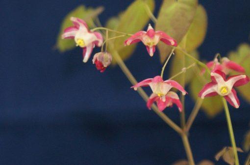 "Epimedium grandiflorum ""Red Beauty"""