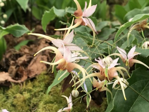 "Epimedium ""King Prawn"""