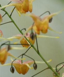 "Epimedium ""Wildside Amber"""
