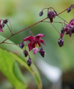 "Epimedium ""Never the Red Rooster"""