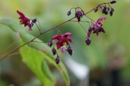 """Epimedium """"Never the Red Rooster"""""""