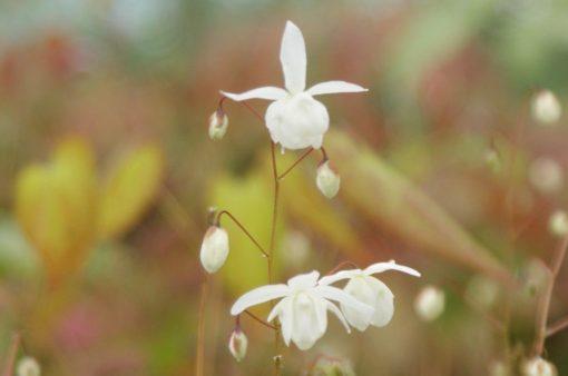 """Epimedium x youngianum """"Niveum"""""""