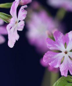 """Primula sieboldii """"Keepsake"""""""