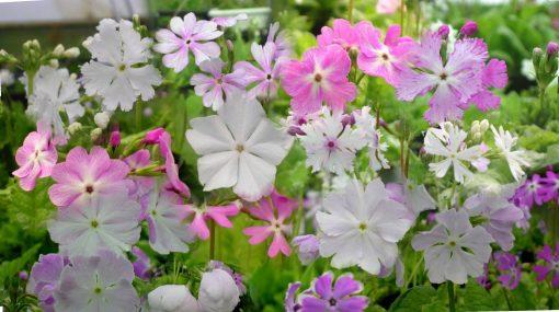 Primula sieboldii flower forms
