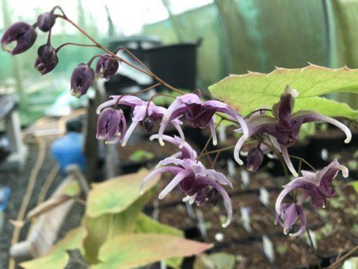 """Epimedium x acuminatum """"Phoenix"""""""