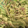 "Athyrium otophorum ""Okanum"". Striking foliage on ruby ribs."