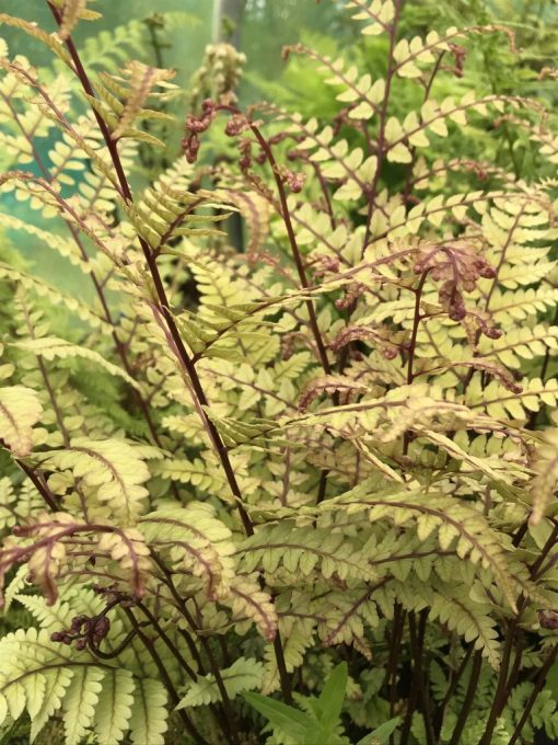 "Athyrium otophorum ""Okanum"". Striking foliage on ruby ribs."