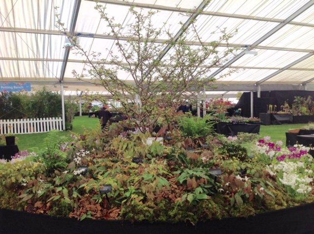 Penny's Primulas at RHS Malvern Spring Flower Show