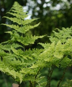 Dryopteris Crispa Whiteside