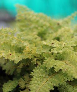 """Polystichum """"Plumosum Densum"""""""