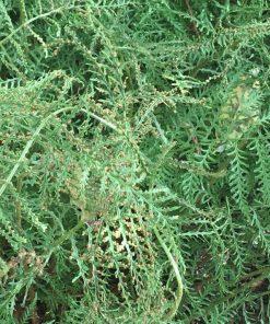 Linearis Polydactyla