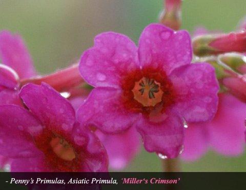 Asiatic Primula Millers Crimson