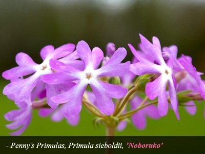 Noboruko Primula Sieboldii