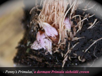 A Dormant Primula Sieboldii Crown